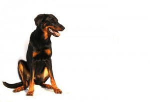 beauceron-dog-white-animal-breed