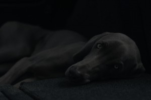 close up of weimaraner dog layed on carpet