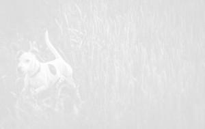 white dog running on wheat crop