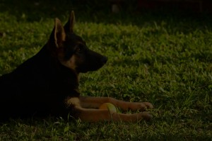 German Shepherd sitted on grass facing other side