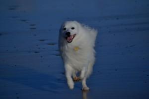 White japanese spitz running on the sea sandy blue beach