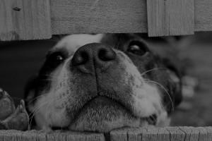 Short Coated Dog Between Wooden Boards