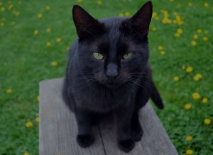 cat-black-cat-kitty-black-pet