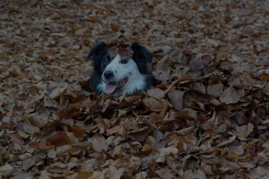 bernese mountain dog hiding under the leaves in autumn