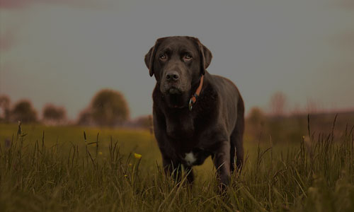 adult black Labrador retiever standing on grass field