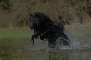 belgian shepherd dog water dog