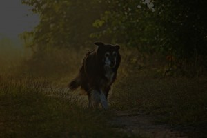 border collie in the field at sunrise dog journal