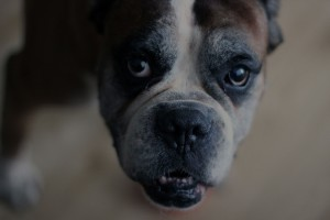 Dog Animal Boxer Old Face Boxer Dog Dog Bo