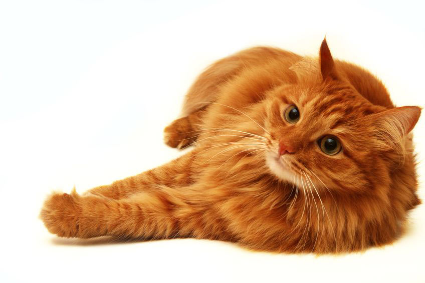 cat laying on white background