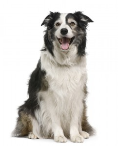 Border collie, 3 years old, lying in front of white background