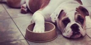 Hungry bulldog with empty food bowl