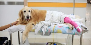 dog with sports medicine injury after surgery