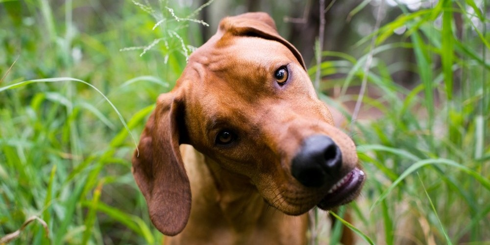A dog's head tilt may be a sign of vestibular disease